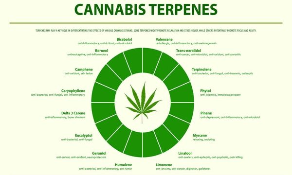 Everything You Need to Know about Cannabis Terpenes